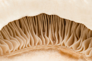 Crimini mushroom, close up