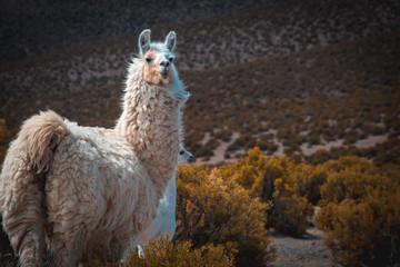 Foto op Canvas Lama dos llamas, la madre junto a su llama bebé