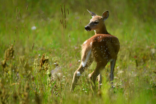 A White-tailed Deer Fawn Stood in a Flowering Orchard