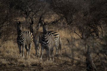 Canvas Prints Zebra Plains zebra in Krueger National Park
