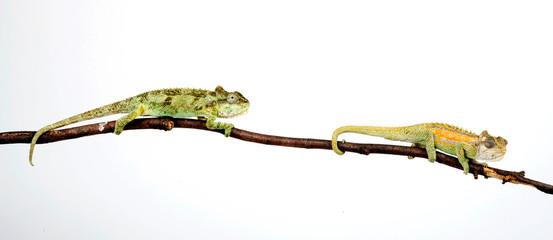 Fototapeten Chamaleon Zwergchamäleon / Transvaal dwarf chameleon (Bradypodion transvaalense)