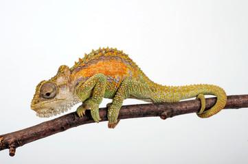Zwergchamäleon / Transvaal dwarf chameleon (Bradypodion transvaalense)