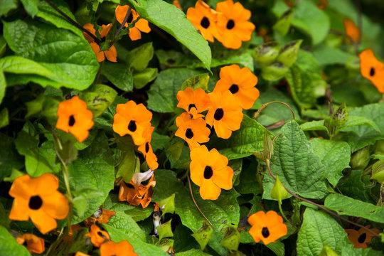 Thunbergia alata - Black-eyed Susan vine with trellis