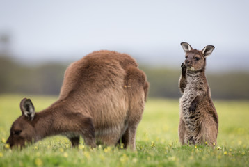 A joey and mother western grey kangaroos. Macropus fuliginosus, subspecies Kangaroo Island kangaroo, grazing.