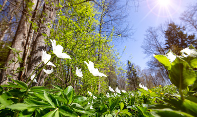 Wall Mural - Wood with spring flowersWood with lots of white spring flowers in sunny day