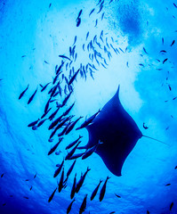 Manta Ray at Islas Revillagigedos, Mexico