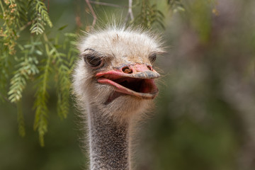 Poster Struisvogel ostrich close up