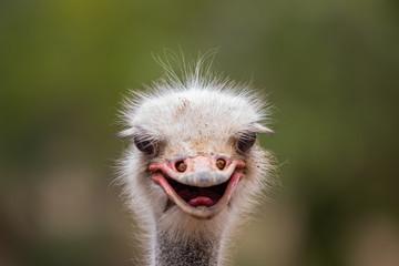 Foto op Aluminium Struisvogel ostrich face