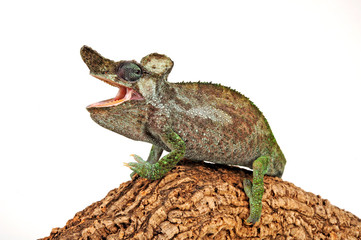 Fototapeten Chamaleon Strange-horned chameleon / Einhornchamäleon (Kinyongia xenorhina)