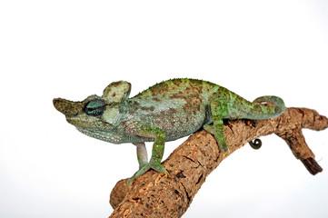 Poster Chamaleon Strange-horned chameleon / Einhornchamäleon (Kinyongia xenorhina)