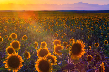 Fotobehang Zonnebloem A sunflower field is covered in the glow of sunset as the front range of the Colorado Rocky Mountains is seen