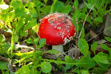 Fungo Amanita muscaria su prato erboso