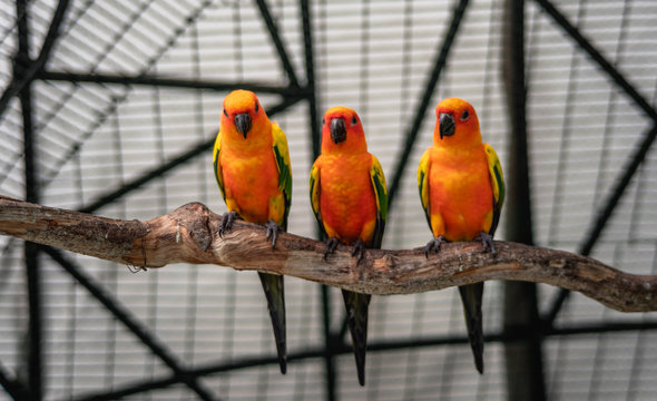 group of sun conure, parrot bird on local zoo (wine village), songkhla, Thailand
