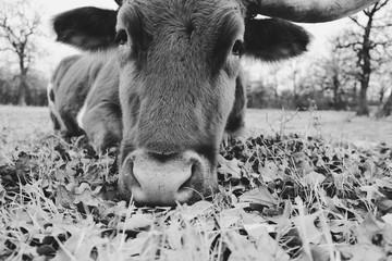 Wall Mural - Sleepy Texas longhorn cow resting close up.