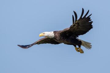 Bald Eagle Flying Fotomurales