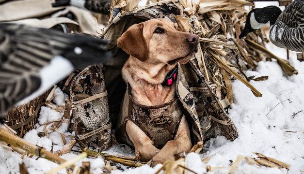 dog in corn hunting waterfowl outside