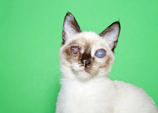 Portrait of an adorable seal point siamese kitten with bilateral cataracts facing directly towards viewer. Green background with copy space. Visually impaired but turns towards noises