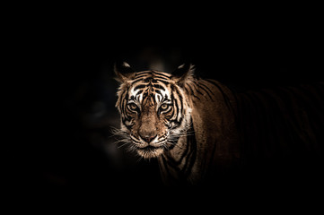 Fine art image of ranthambore wild male tiger at ranthambore national park, rajasthan, india