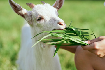 White goat chewing grass