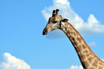giraffe in the chobe national park (botswana)