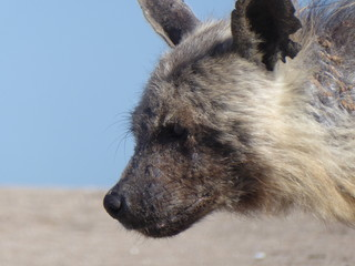 Poster Hyène Old brown hyena walking on the beach, in southern Namibia.