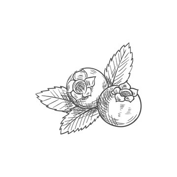 Huckleberry bilberry blueberry whortleberry isolated sketch. Vector blue berris with leaf, food dessert