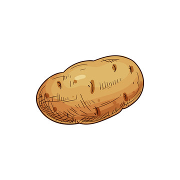 Young or old potato isolated vegetable sketch. Vector tuber uncooked root, vegetarian food