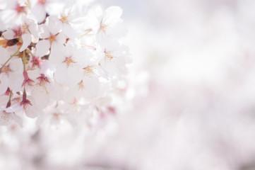 Fotorolgordijn Kersenbloesem 満開の桜 ソメイヨシノ 右側にコピースペース 桜2019_02s_00641(DSC_1635_NEF_コピー1)