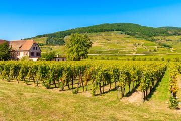 Green vineyards near Kaysersberg village, Alsace Wine Route, France