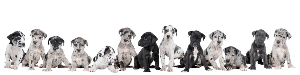 Panorama of a litter of puppies of the Great Dane Dog or German Dog, the largest dog breed in the world, Harlequin fur, white, blue, black with black, white spots, sitting isolated in white background