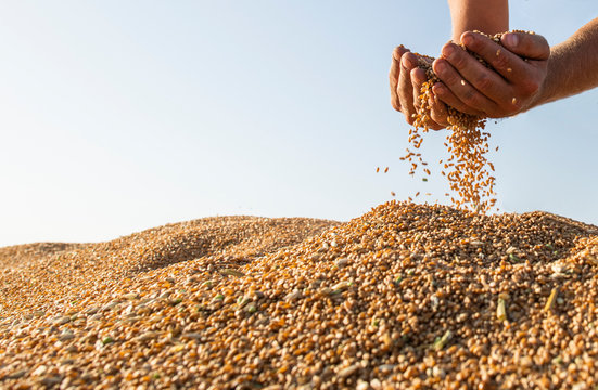 Happy farmer after harvest of wheat
