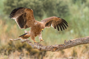 Iberian imperial eagle on a branch with wings open or in flight, with unfocused fonts