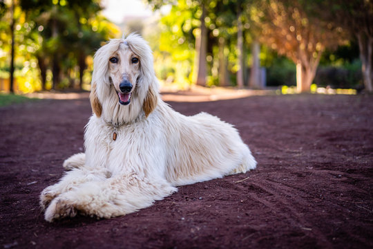 An afghanhound in Puerto de la Cruz