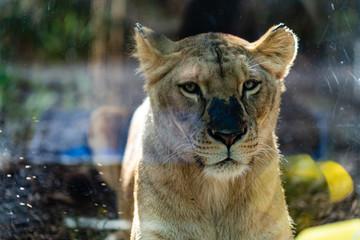 A lioness in the Loro Parque in Tenerife