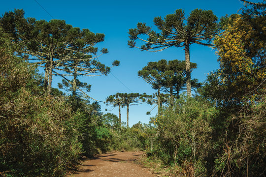 Dirt pathway in a forest with pine trees