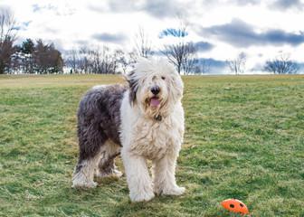 An old English Sheepdog at the park