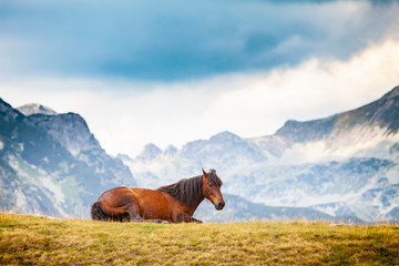Wild horses roaming free on an alpine pasture in the mountains in summer