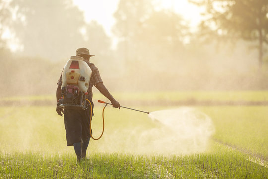 Asian farmer with machine and spraying chemical or fertilizer to young green rice field