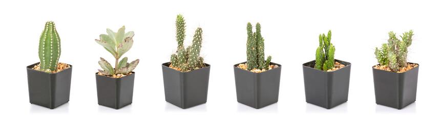 Poster Cactus Set of mini cactus in black plastic planting pot isolated on white