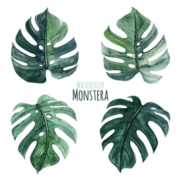 Lovely monstera leaves, watercolor floral clipart