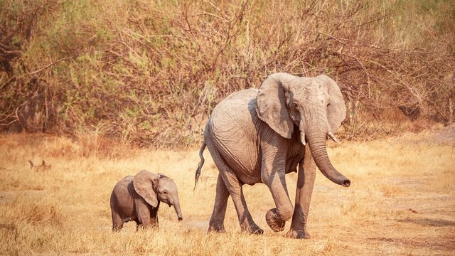 A mother and her baby African elephant.