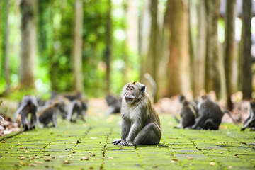 A long-tailed macaque is sitting on a footpath in the Ubud Monkey Forest. The Ubud Monkey Forest is the sanctuary and natural habitat of the Balinese long-tailed Monkey. Ubud, Bali, Indonesia.