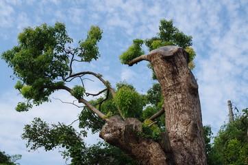 切られた大木