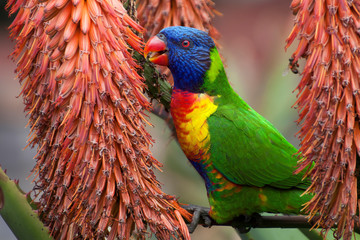 Sydney Australia, Rainbow lorikeet perched among the flowers of a red hot poker