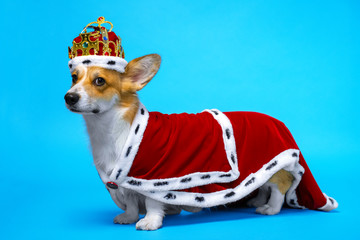 proud and domineering pretty cute corgi dog wearing  royal costume crown  standing on a blue background.