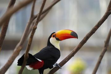 Tuinposter Toekan 派手な鳥、オオハシ