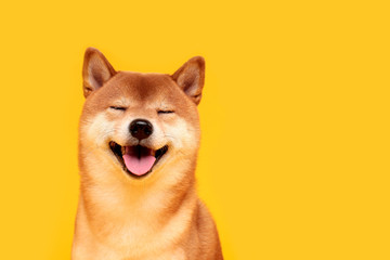 Zelfklevend Fotobehang Hond Happy shiba inu dog on yellow. Red-haired Japanese dog smile portrait