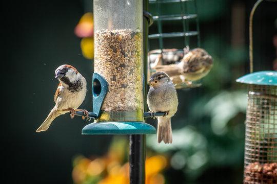 House sparrows eating at bird feeder in backyard garden 2