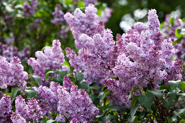 Foto auf Leinwand Flieder A branch of a flowering flowers lilac