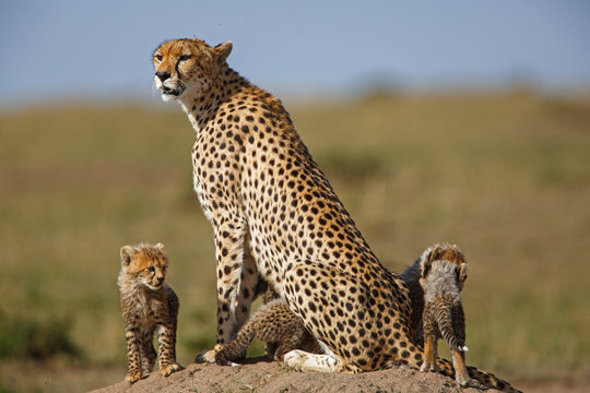Cheetah mother with cubs in the Masai Mara Game Reserve in Kenya